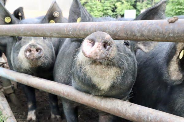 龍泉洞黒豚